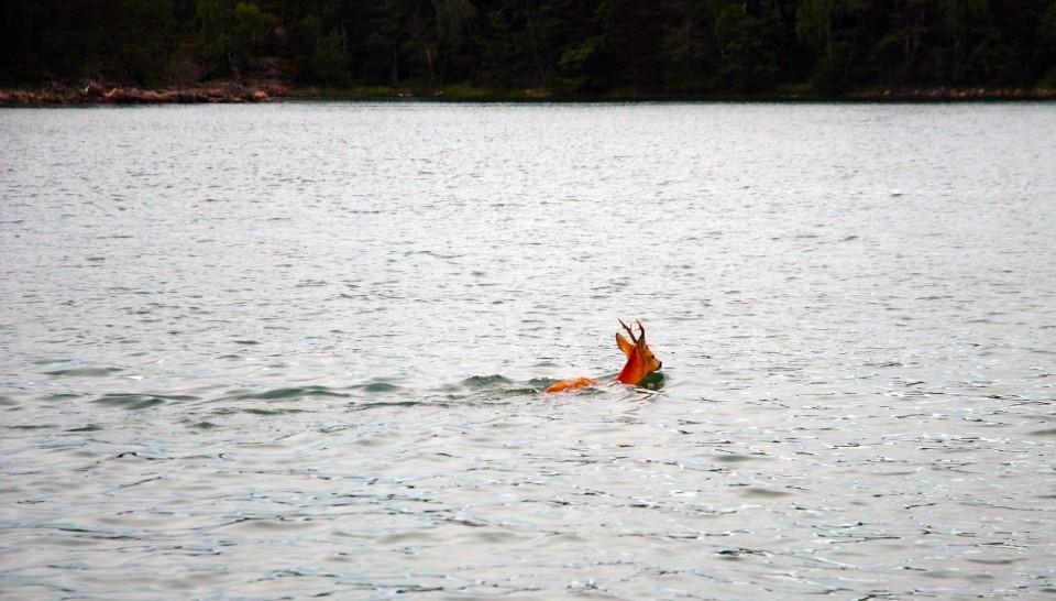 Harvinaisempi näky merellä – peura ylittämässä väylää.